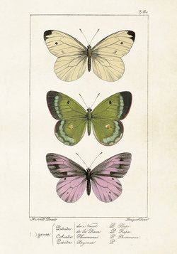 Juliste Perhoset 35 * 50 cm