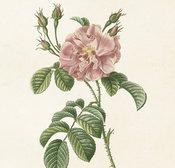 Juliste Ruusu 18 * 24 cm